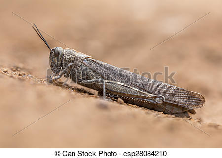 Stock Photography of Migratory locust on neutral background.