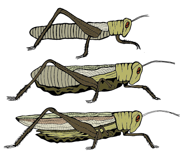 Migratory Locust on Behance.