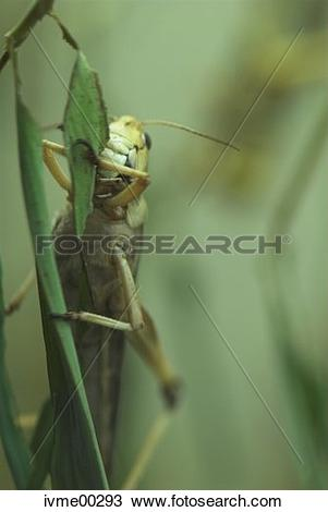Stock Photo of menace, migratory locust, grass, hungry, famine.