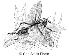 Migratory locust Illustrations and Clip Art. 13 Migratory locust.