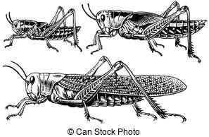 Migratory locust Illustrations and Clip Art. 13 Migratory locust.