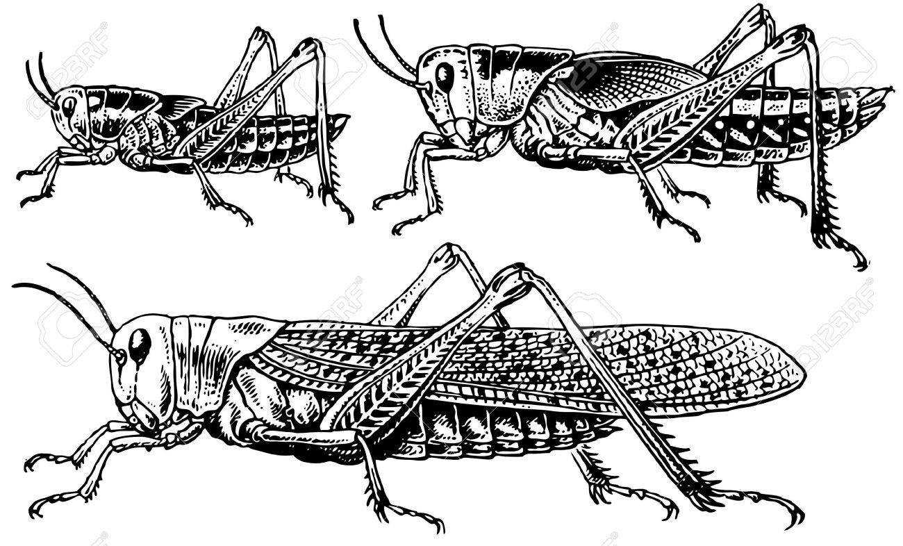 Migratory Locust Royalty Free Cliparts, Vectors, And Stock.