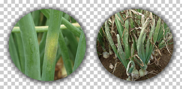 Disease Downy mildew Onion, onion PNG clipart.