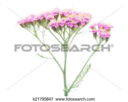 Picture of pink milfoil on white background k21793847.