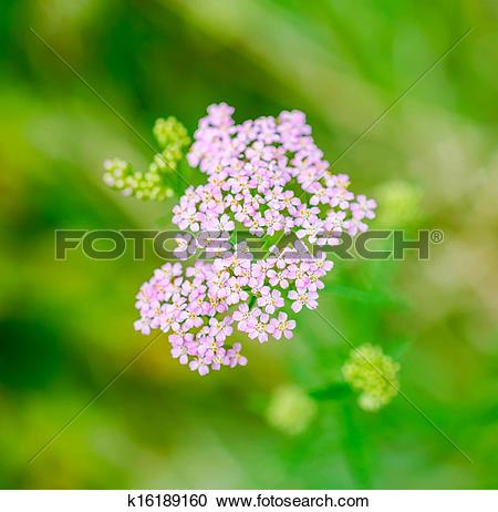 Stock Photography of Milfoil herbal medicine, Yarrow (Achillea.