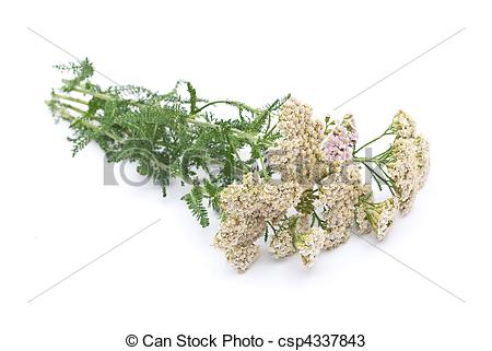 Stock Photos of Herbal medicine: Milfoil on white csp4337843.