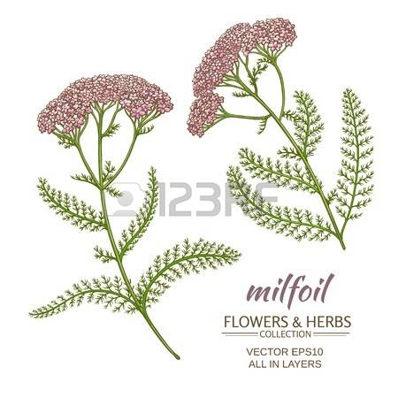 83 Achillea Millefolium Stock Vector Illustration And Royalty Free.