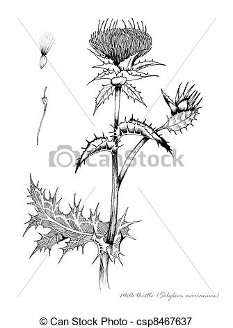 Milk Thistle Clip Art.