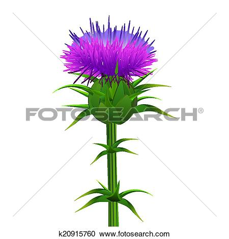 Clipart of Milk thistle , Silybum marianum isolated on white.