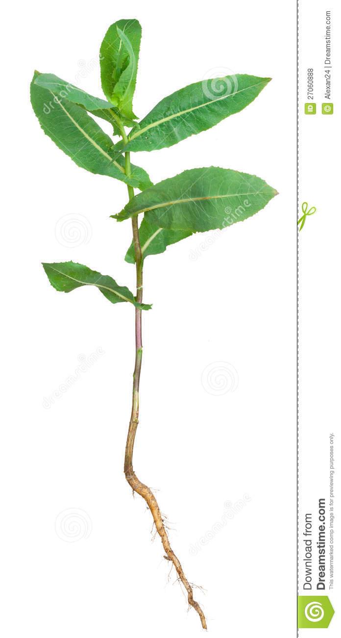 Medicinal Plant. Milkweed Royalty Free Stock Photos.