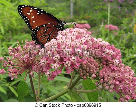 Milkweed Stock Photos and Images. 1,892 Milkweed pictures and.