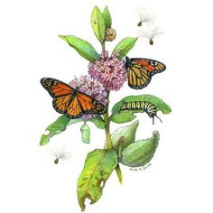 Butterfly milkweed clipart.