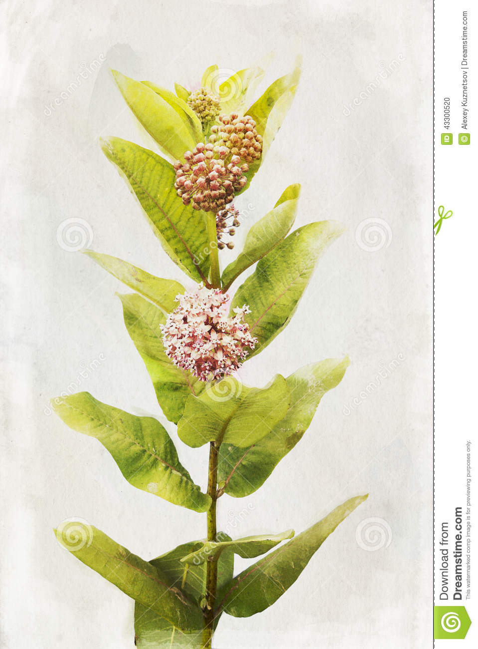 Watercolor Milkweed Flowers Stock Illustration.