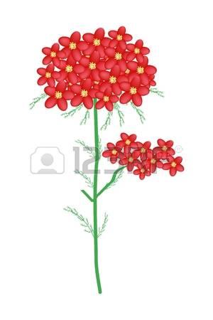 83 Achillea Millefolium Stock Vector Illustration And Royalty Free.