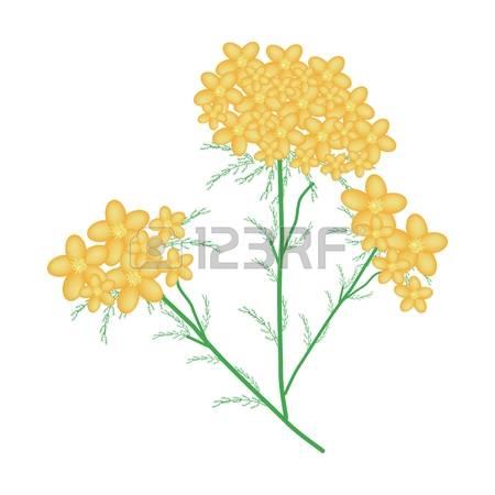 83 Millefolium Stock Vector Illustration And Royalty Free.