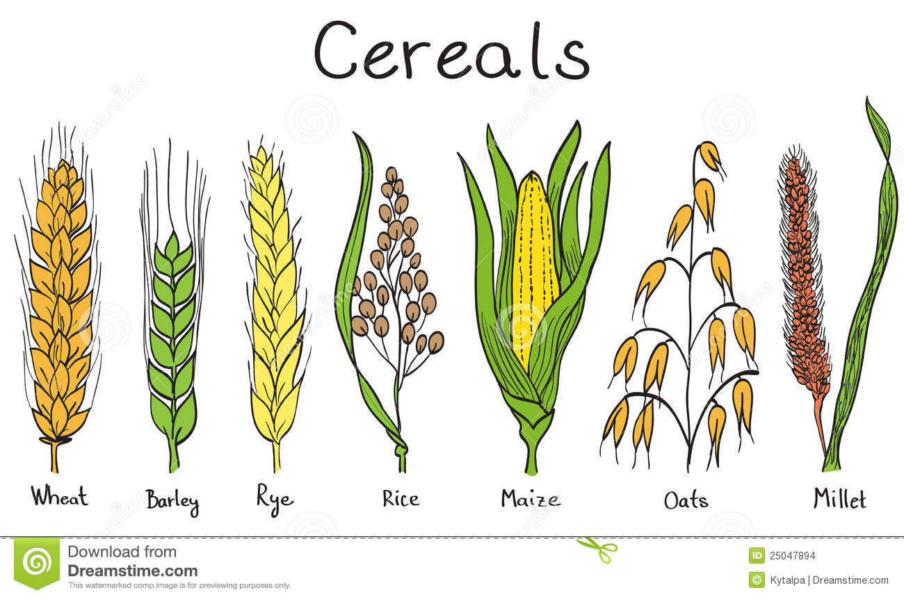 Millet Stock Illustrations.