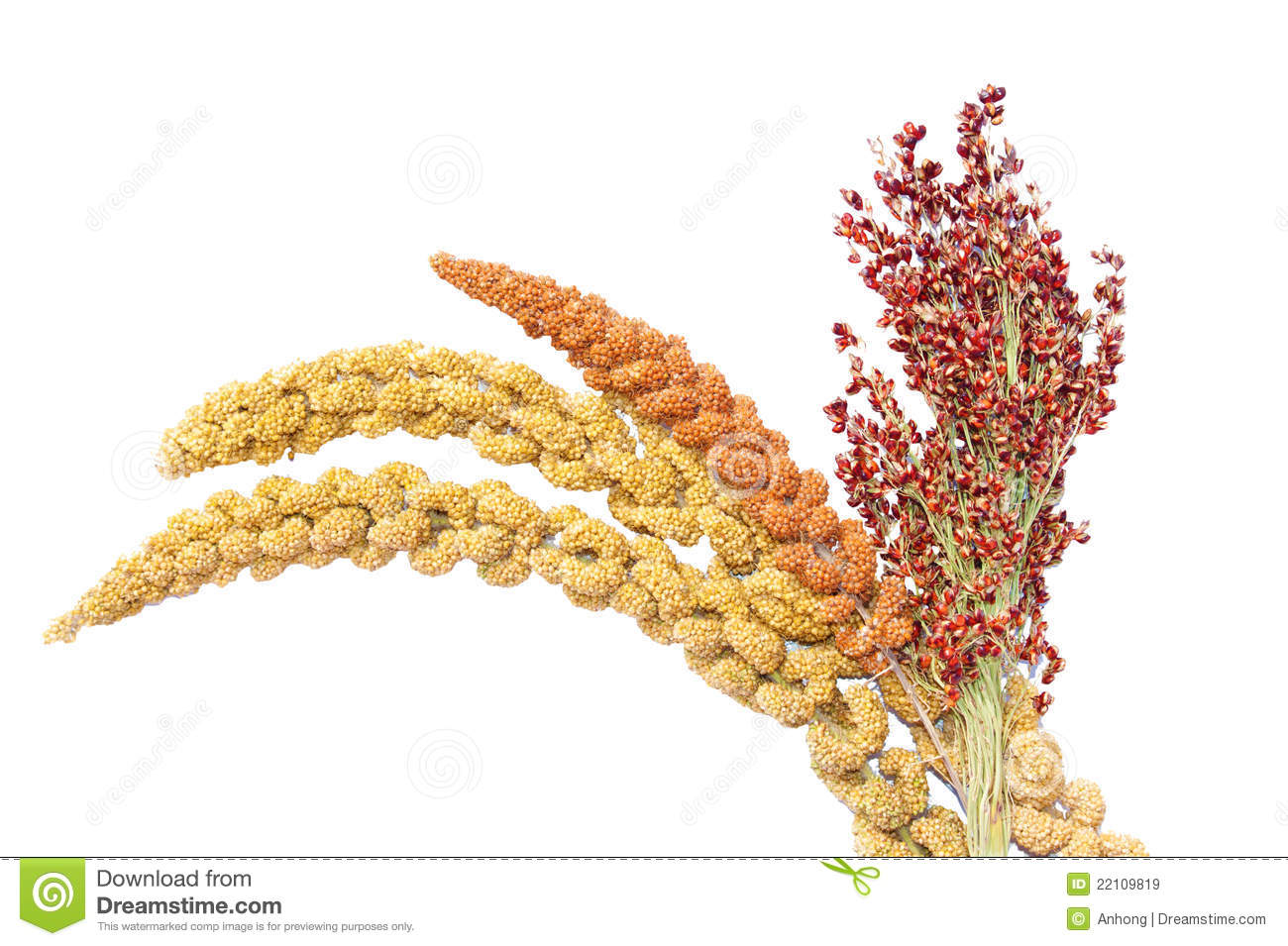 Millet And Sorghum Royalty Free Stock Images.