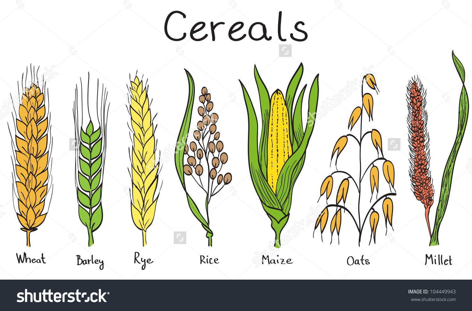 Cereals Handdrawn Illustration Wheat Barley Rye Stock Illustration.