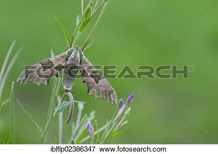 "Picture of ""Lime Hawkmoth (Mimas tiliae), adult, newly emerged."