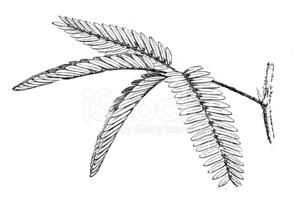 Antique Illustration of Mimosa Pudica (sensitive Plant, Sleepy P.