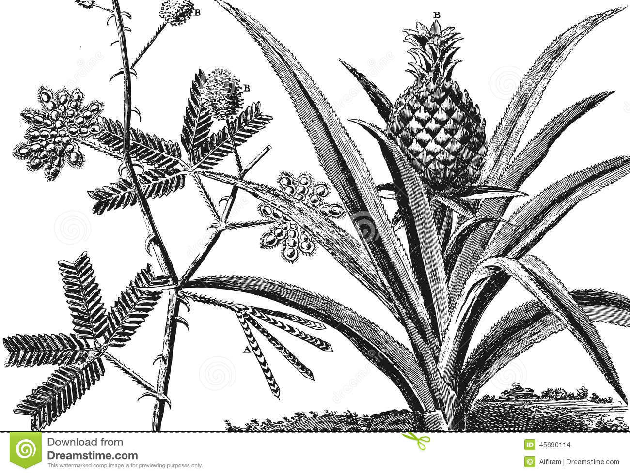 Mimosa Plant Clipart.