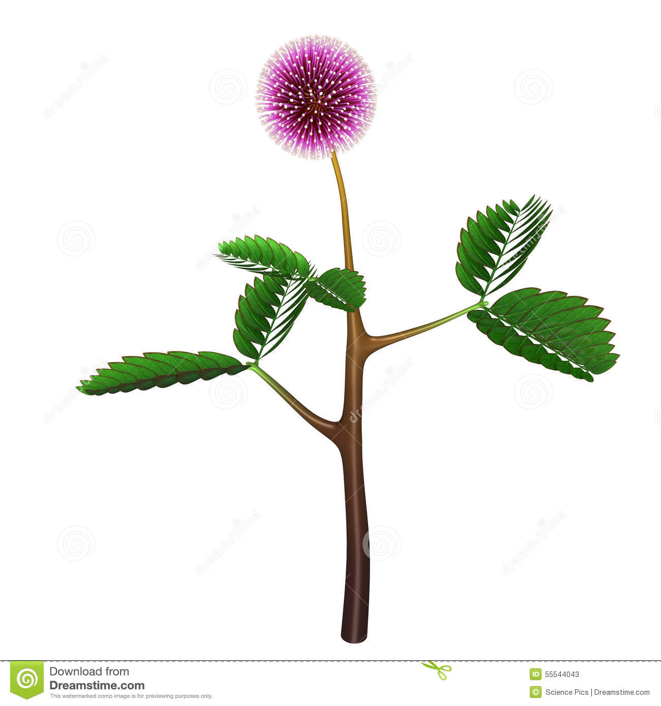 Mimosa Pudica Stock Illustration.