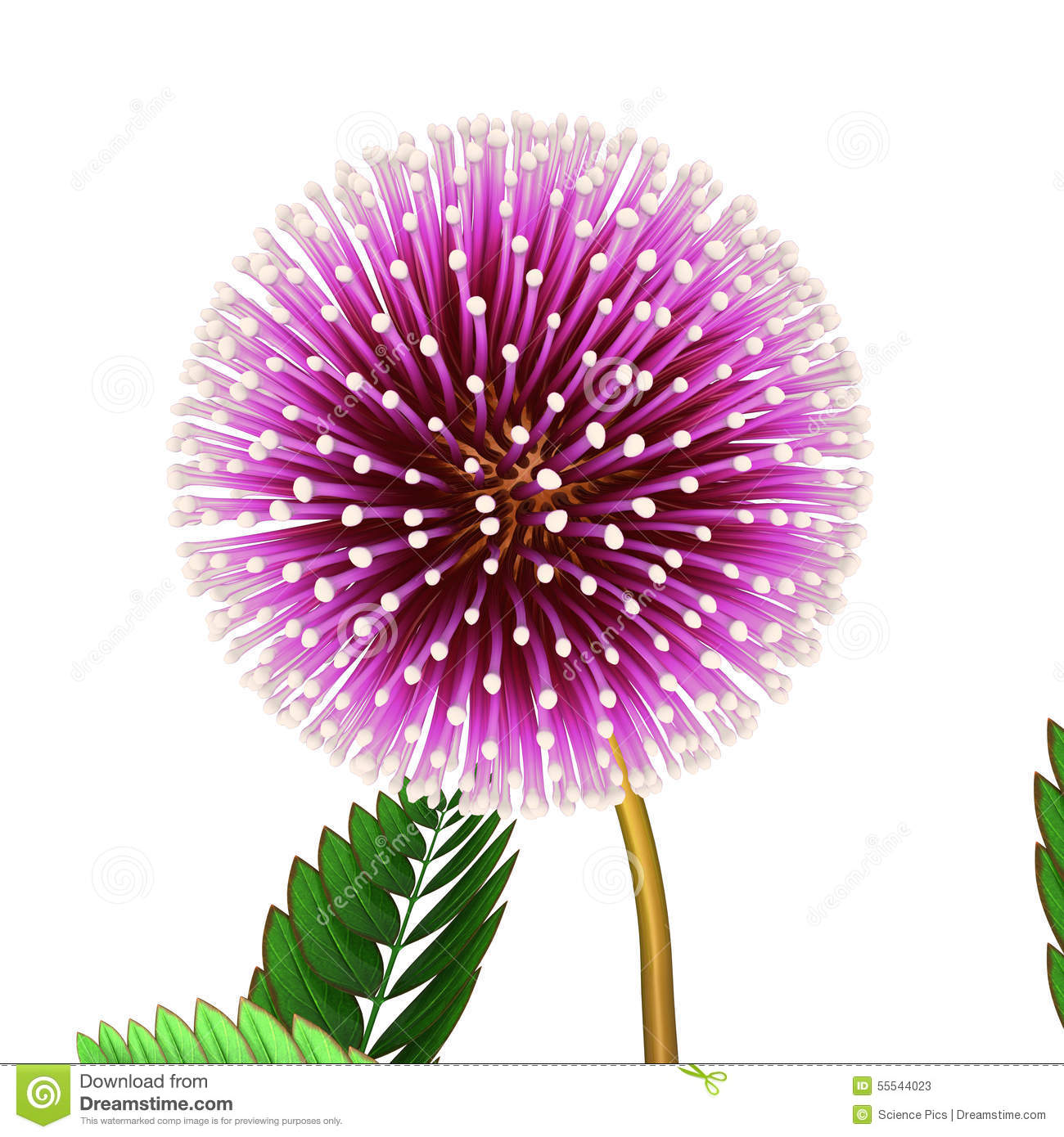 Mimosa Pudica Stock Illustration.