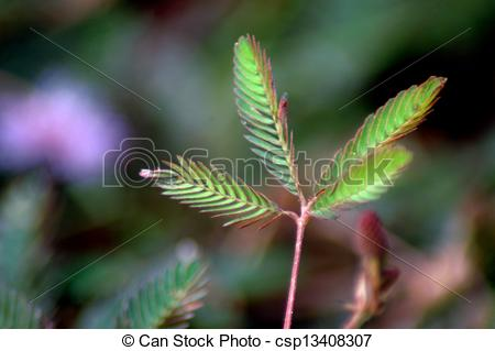 Stock Photography of Leaf Mimosa.