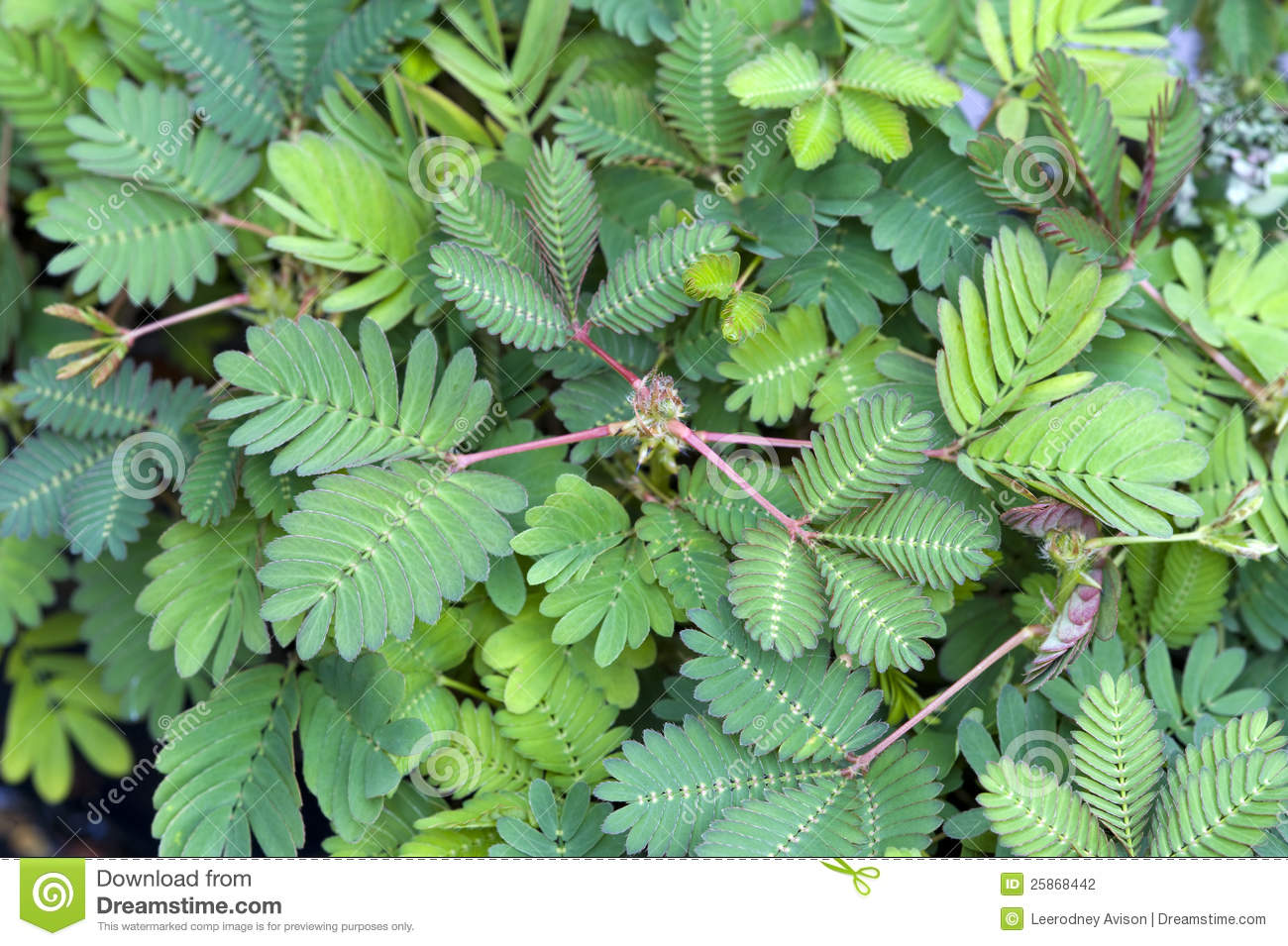 Mimosa Pudica Sensitive Plant Stock Photography.