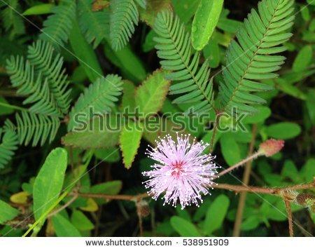 Mimosa Pudica Foto, immagini royalty.