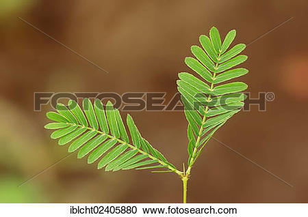 "Stock Photography of ""Mimosa, Sensitive Plant or Touch."