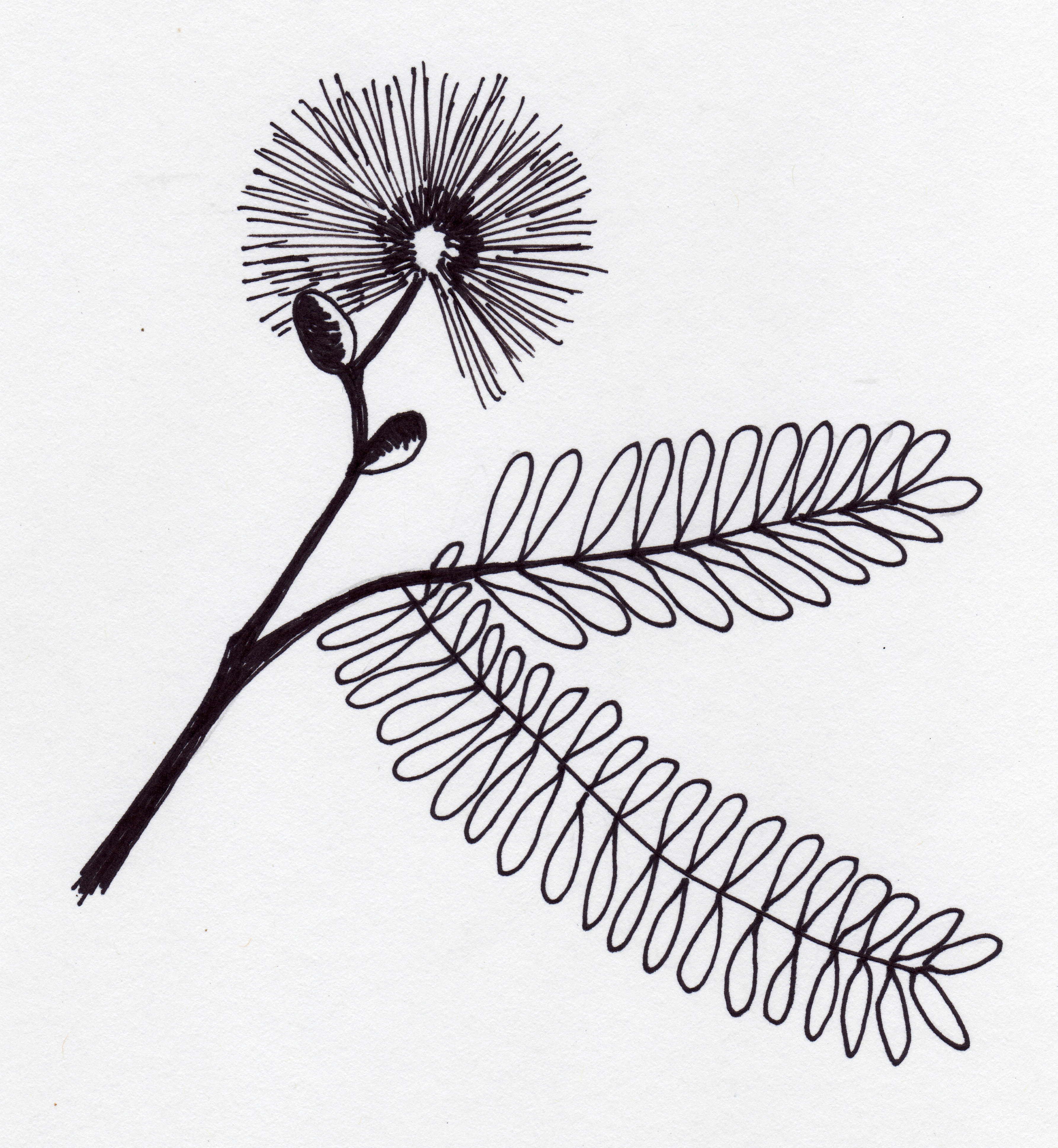 mimosa pudica.