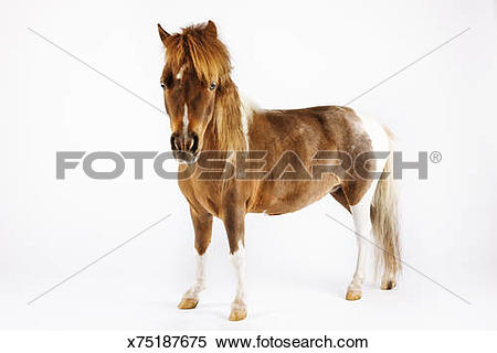 Stock Image of Miniature horse against white background. x75187675.