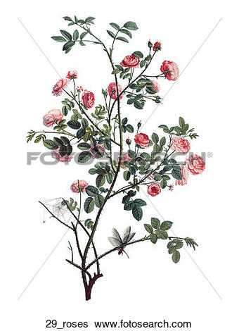 Stock Illustration of Antique Floral Illustration of Miniature.