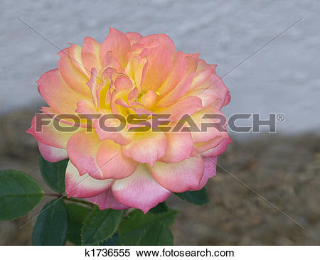 Stock Image of pink yellow white variegated miniature rose.