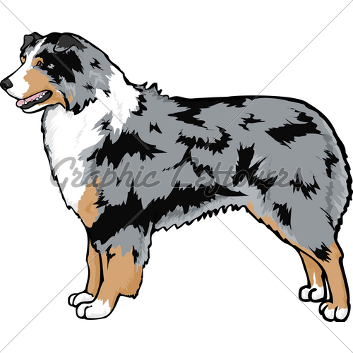 Aussie Shepherd · GL Stock Images.