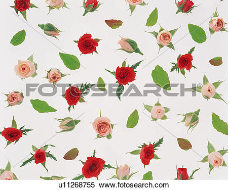 Stock Image of Lovely miniature roses u11268755.