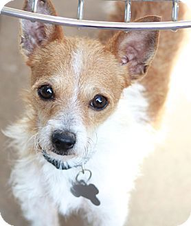 1000+ ideas about Wirehaired Fox Terrier on Pinterest.