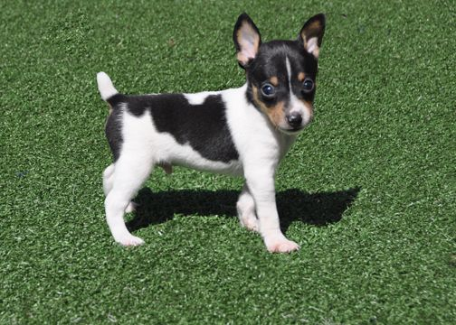 1000+ images about Toy fox terrier love!! on Pinterest.