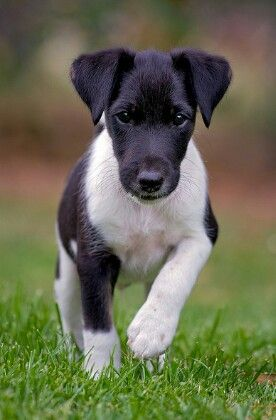 1000+ images about smooth hair fox terriers on Pinterest.