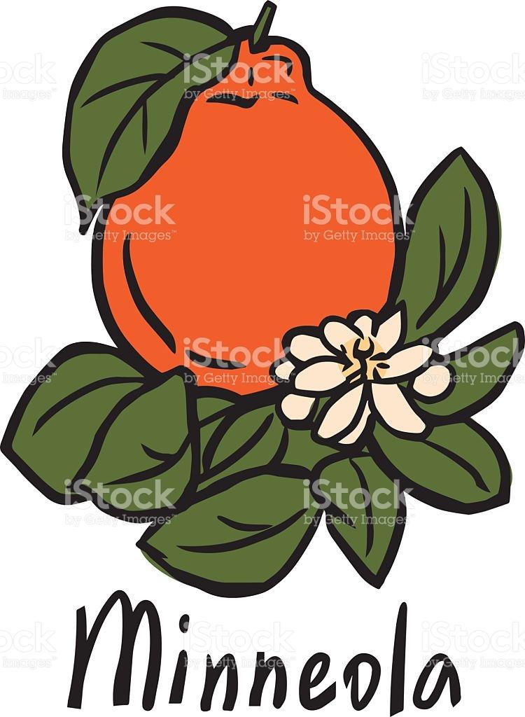 Minneola Fruit stock vector art 491963868.