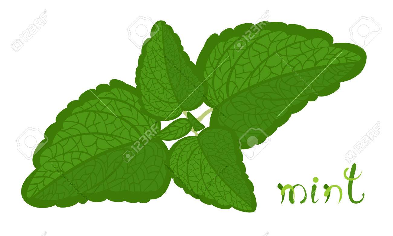 Green mint. Illustration of twig with fresh mint leaves. Cartoon...