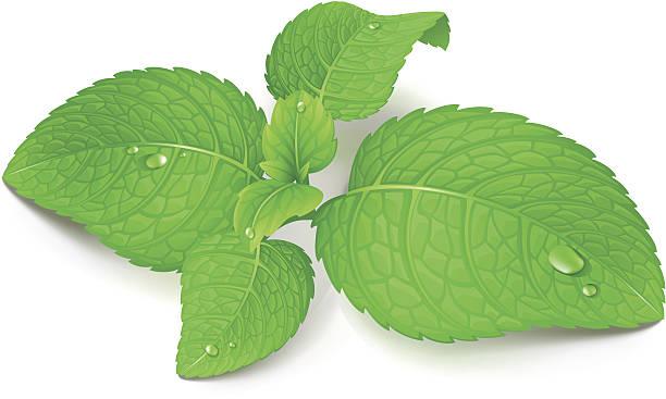Best Mint Leaf Illustrations, Royalty.