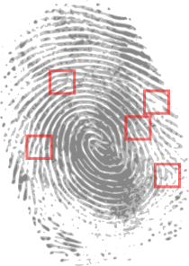 Fingerprint Showing Minutiae Ridges Bifurcations And Endings Clip.