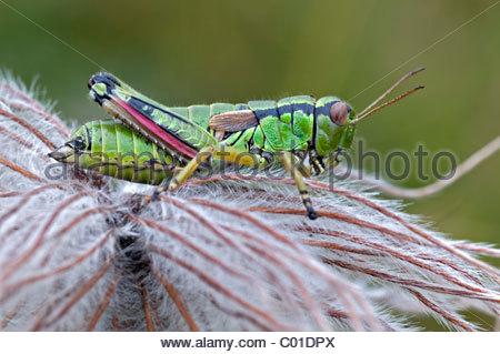 Locusts Stock Photos & Locusts Stock Images.