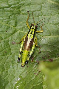 Attacus moth.