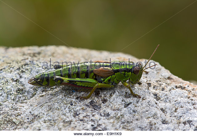 Green Mountain Grasshopper Stock Photos & Green Mountain.
