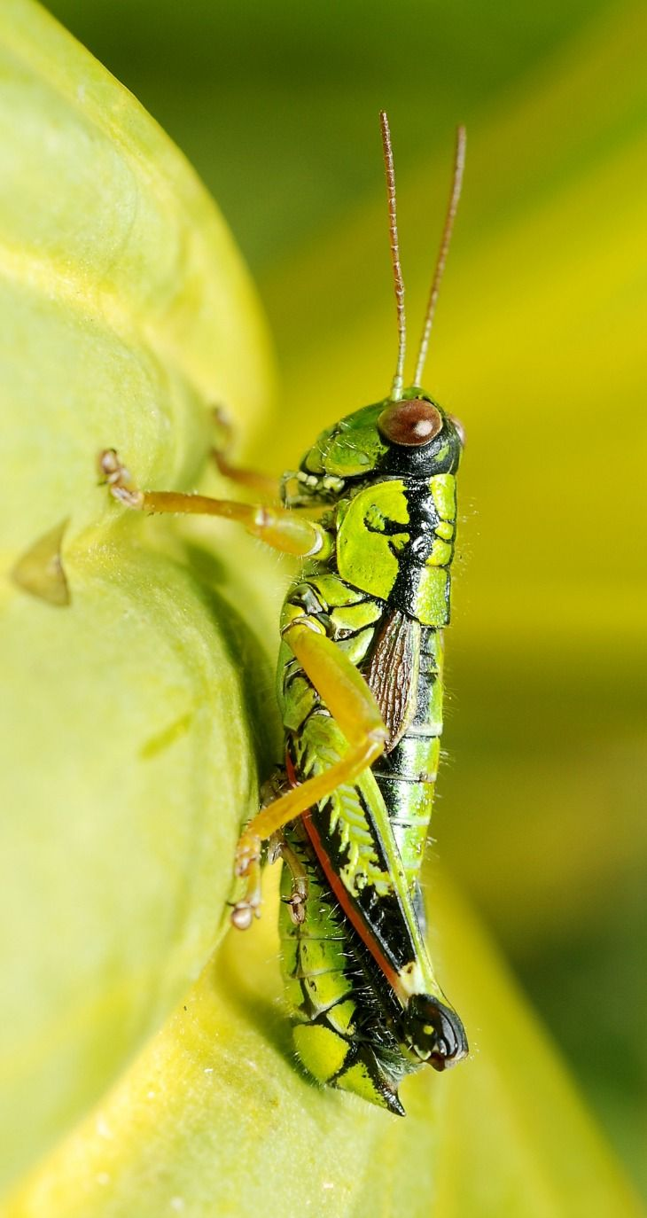 1000+ images about Grasshopper & Crickets on Pinterest.
