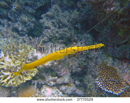 Trumpetfishes: Stock Photos, Royalty.