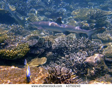 Whitetip Reef Shark, Mirihi, South Ari Atoll, Maldives Stock Photo.
